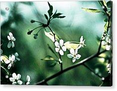 Three Cherry Flowers - Featured 3 Acrylic Print by Alexander Senin