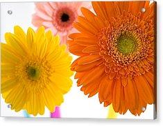 Three Colorful Gerbers  Acrylic Print