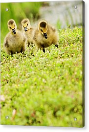 Three Day Old Goslings Acrylic Print by Catlane