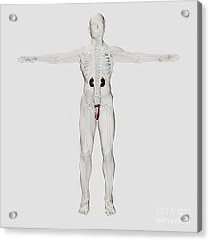 Three Dimensional Medical Illustration Acrylic Print by Stocktrek Images
