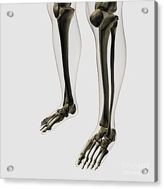 Three Dimensional View Of Human Leg Acrylic Print by Stocktrek Images