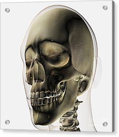 Three Dimensional View Of Human Skull Acrylic Print by Stocktrek Images
