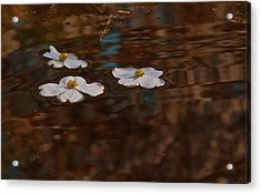 Acrylic Print featuring the photograph Three Dogwood Blooms In A Pond  by John Harding