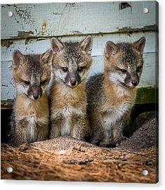 Three Fox Kits Acrylic Print by Paul Freidlund