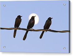 Three Grackles With Full Moon Acrylic Print