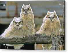Three Great-horned Owl Chicks Acrylic Print