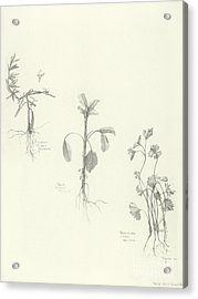 Three Herbs Acrylic Print