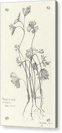Three Herbs - Parsley Acrylic Print