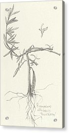 Three Herbs - Rosemary Acrylic Print