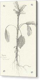 Three Herbs - Tricolor Sage Acrylic Print