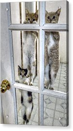 Three Kitten Door Deco Acrylic Print by Aliceann Carlton