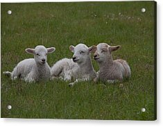 Three Lambs Acrylic Print by Richard Baker