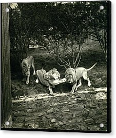 Three Lions At The Bronx Zoo In New York Acrylic Print by Toni Frissell
