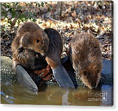 Three Little Beavers Acrylic Print by Eva Thomas