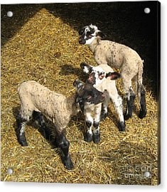 Three Little Lambs In Spring Sunshine Acrylic Print