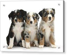 Three Mini American Shepherd Pups Acrylic Print