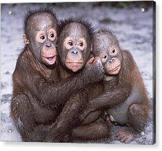 Three Orangutan Babies Acrylic Print