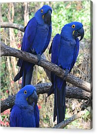Three Pals Acrylic Print by Kathleen Struckle