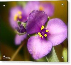 Three Petals Of Purple Acrylic Print by Alexandra  Rampolla
