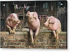 Three Pigs Having A Chat In A Remote Acrylic Print by Mediaproduction