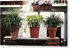 Three Potted Plants Acrylic Print by Angela Bonilla