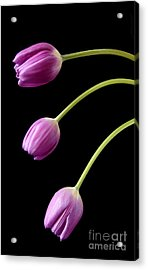 Three Purple Tulips Acrylic Print