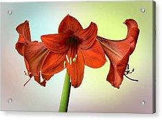 Three Red Amaryllis Acrylic Print by Bob Mulligan