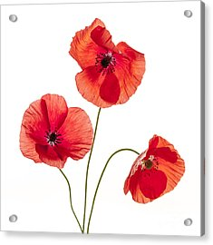 Three Red Poppies Acrylic Print by Elena Elisseeva