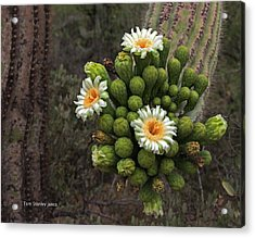 Three Saguaro Blossoms And Many Buds Acrylic Print