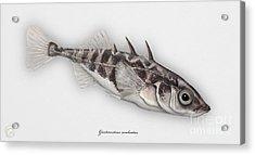 Three-spined Stickleback Gasterosteus Aculeatus - Stichling - L'epinoche - Espinoso - Kolmipiikki Acrylic Print
