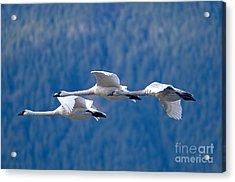 Three Swans Flying Acrylic Print by Sharon Talson