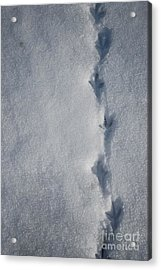 Three Toed Steps Acrylic Print by Susan Hernandez