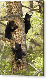 Family Tree Acrylic Print by Aaron Whittemore