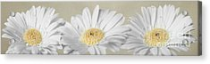 Three White Daisies Acrylic Print