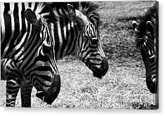 Acrylic Print featuring the photograph Three Zebras by Tom Brickhouse