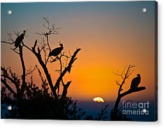 Three Vultures Waiting Acrylic Print