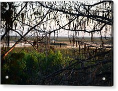 Through The Cypress  Acrylic Print by Ken  Collette