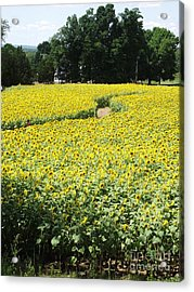 Through The Sunflowers Acrylic Print by Michelle Welles