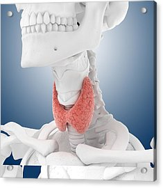 Thyroid Anatomy, Artwork Acrylic Print by Science Photo Library