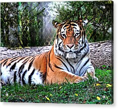 Acrylic Print featuring the photograph Tiger 2 by Marty Koch