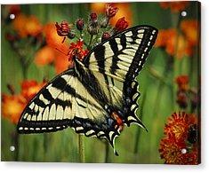 Tiger And Hawk Acrylic Print