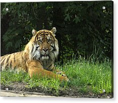 Acrylic Print featuring the photograph Tiger At Rest by Lingfai Leung