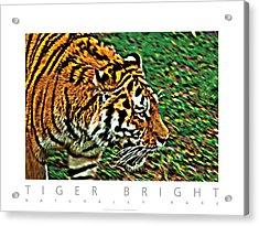 Tiger Bright  Naturally Rare Poster Acrylic Print by David Davies