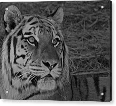 Tiger Bw Acrylic Print by Ernie Echols