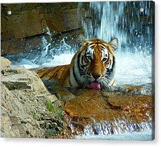 Tiger Cool Aid Acrylic Print