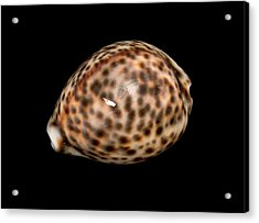Tiger Cowrie Acrylic Print by Natural History Museum, London
