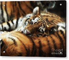 Tiger Cub Resting On Mom's Back Acrylic Print
