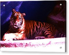 Acrylic Print featuring the photograph Tiger Cub by Victoria Lakes