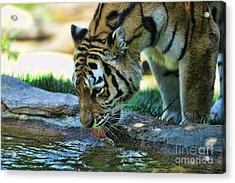 Tiger Drinking Water Acrylic Print by Paul Ward