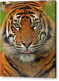 Tiger Eyes Acrylic Print by Paul Scoullar